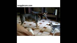German Shepherd and Cat on a Play Date.