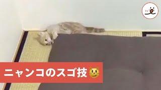 可愛い猫のミルくん♡ 元気すぎて座布団を使ったスゴ技を見せてくれた! ...