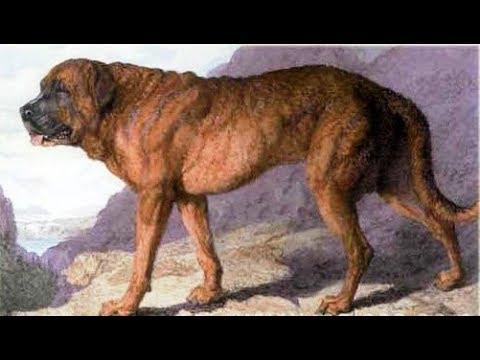 The Alpine Mastiff Youtube