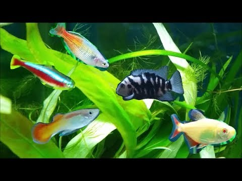 Fish That Will Destroy Your Aquarium Plants - Planted Tank Compatible And Incompatible Fish