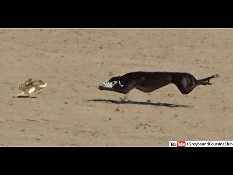 Greyhound Coursing 2020 | Dog Race | Coursing | Racing | Wild Rabbit