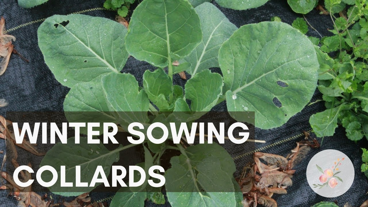 Winter Sowing Collard Greens Growing Greens Plants Gardening for Beginners Cut Flower Farm Container