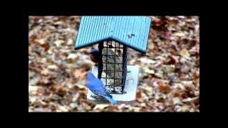 Bluebirds on Suet