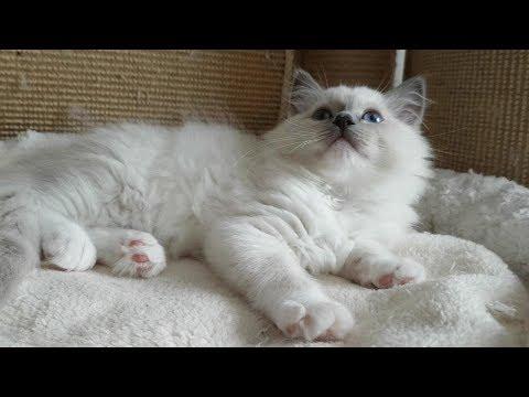 Meet 10 week old Ragdoll Kitten Nerina