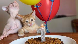 Батон идёт на День Рождения лысого кота Аскольда