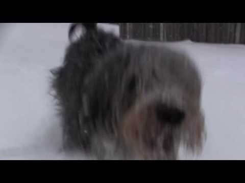 Sprocket the Otterhound playing in the snow