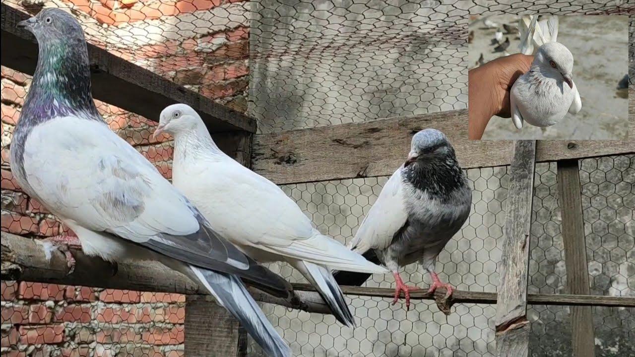 Tahir bhai k kabutar Varanasi | Tahir bhai sey mila ek gift | kaldumma, kalsera, saharanpuri, nafta