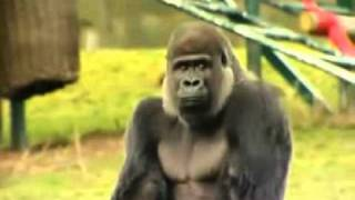 Silverback Gorilla walking upright