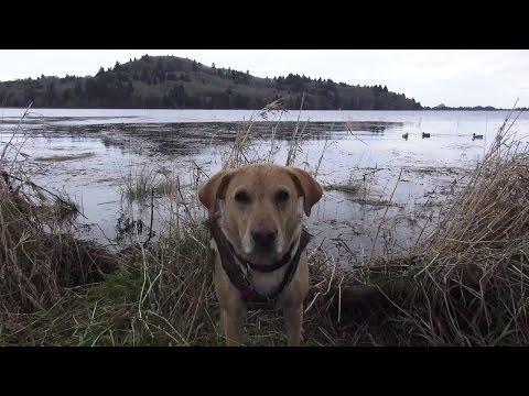 Oregon Coastal Duck Hunt 2015 HD
