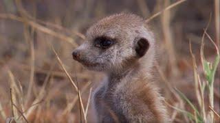 Snake-bitten Meerkat Returns Home   BBC Earth