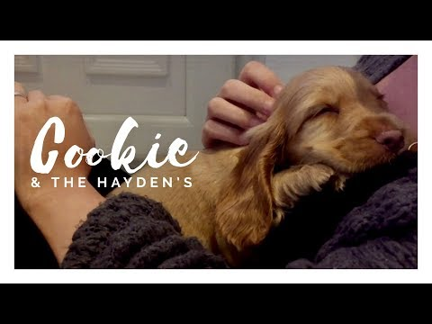 Cookie The Puppy - First Day Home! Play Explore Sleep - 8 Week Old Golden Cocker Spaniel Dog