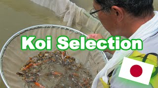 Koi Fish Selection In Japan   How Baby Koi Are Selected [KOI SELECTION GUIDE]