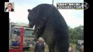 400kgヒグマ紋別で捕獲