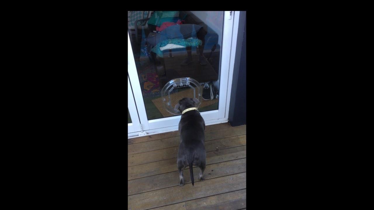 Dog Trying The New Pet Tek Medium Dog Door For Glass Dogwalk Youtube