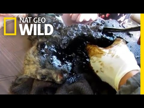 Three Puppies Get Stuck in Black Tar—Watch What Happens Next | Nat Geo Wild