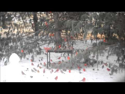 Cardinals At Our Back Yard Feeder