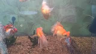 Особенности золотых рыбок!
