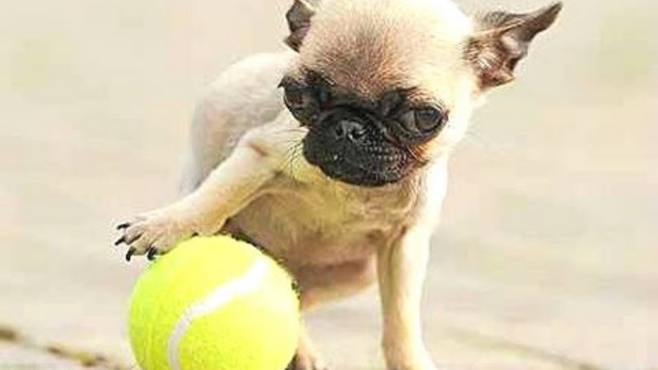 Top 10 Smallest Dogs In The World Compilation [Dog Breeds]