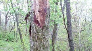 Morel Mushrooms -    How to Identify Dead Elms