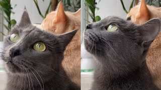 CUTE RUSSIAN BLUE CAT MOMENTS