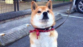 おやつを貰うために、ビシっと背筋を伸ばすかわいい柴犬です(*´ω`*) Sh...