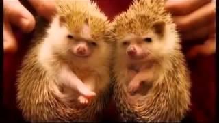Смешные ёжики  Ёжики фото  Веселые животные   Funny hedgehogs  Hedgehogs photo