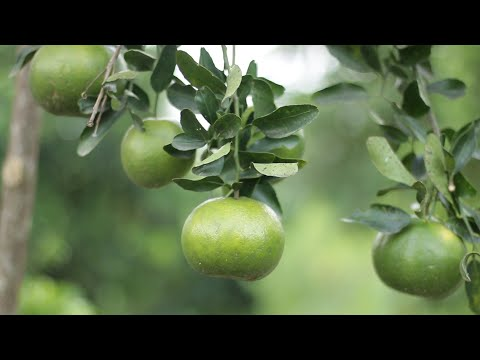 The Ghanaian Farmer: Orange Tree That Produces 1000 Fruits & Can Be Harvested For Next 35 Years