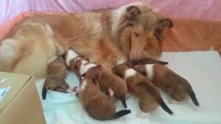 コリーの子犬、生後11日目。ママが帰ってきたことに気付いて、一斉に...