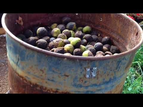 BLACK WALNUTS - part 1- Cleaning and Seasoning