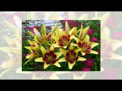Golden Stone Lily, Asiatic Lilies