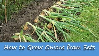 Gardening Guides - How to Grow Onions from Sets