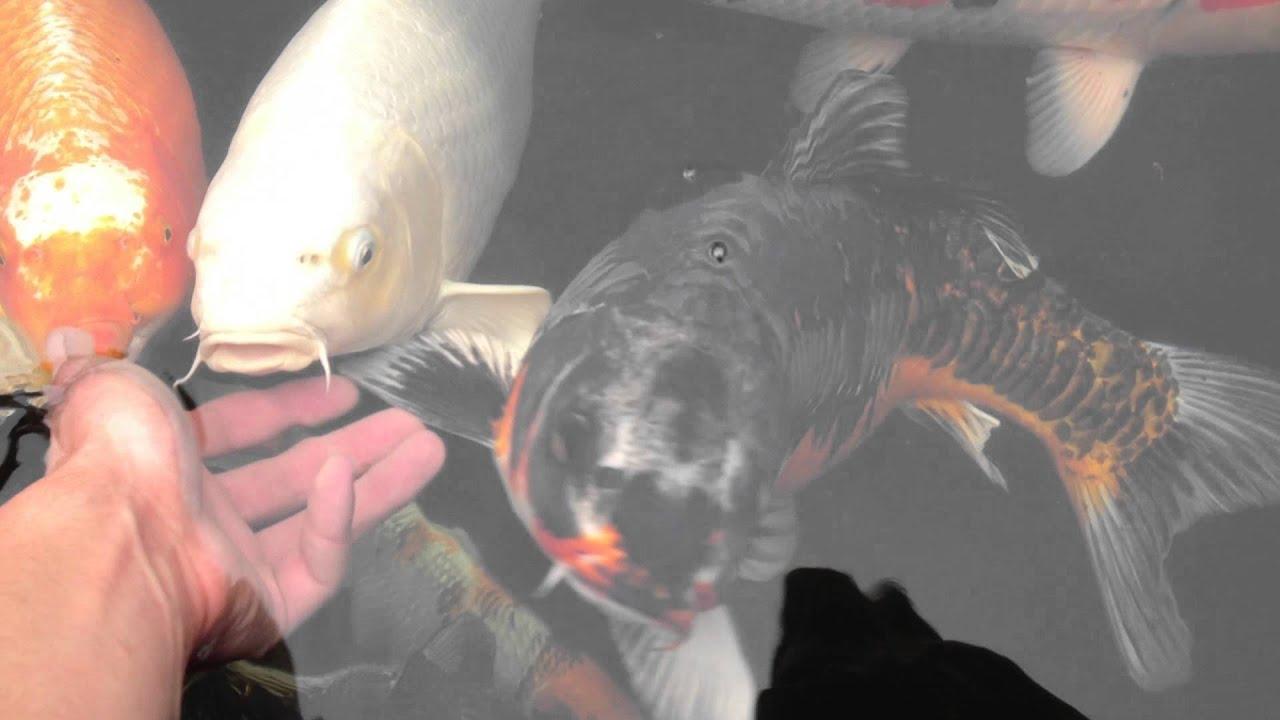 Bassin jardin poissons carpe ko japon youtube for Poisson carpe koi prix