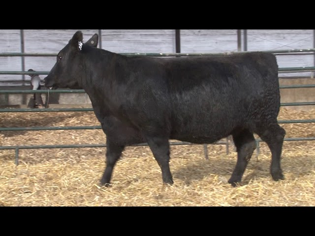 Schiefelbein Angus Farms Lot 396