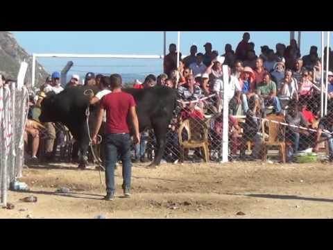 Boğa Güreşi Festivali'nden tatsız...
