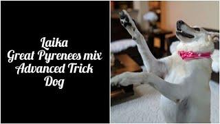 Laika Advanced Trick Dog (Novice, Intermediate and Advanced Tricks)