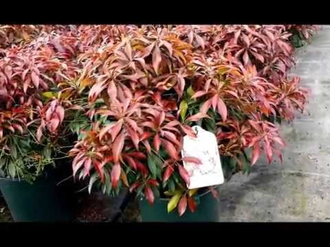 Best Evergreen Shrubs, Pieris Katsura (Japanese Andromeda)