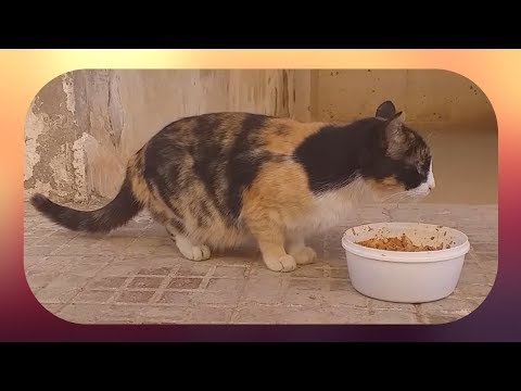 cute calico cat wants food