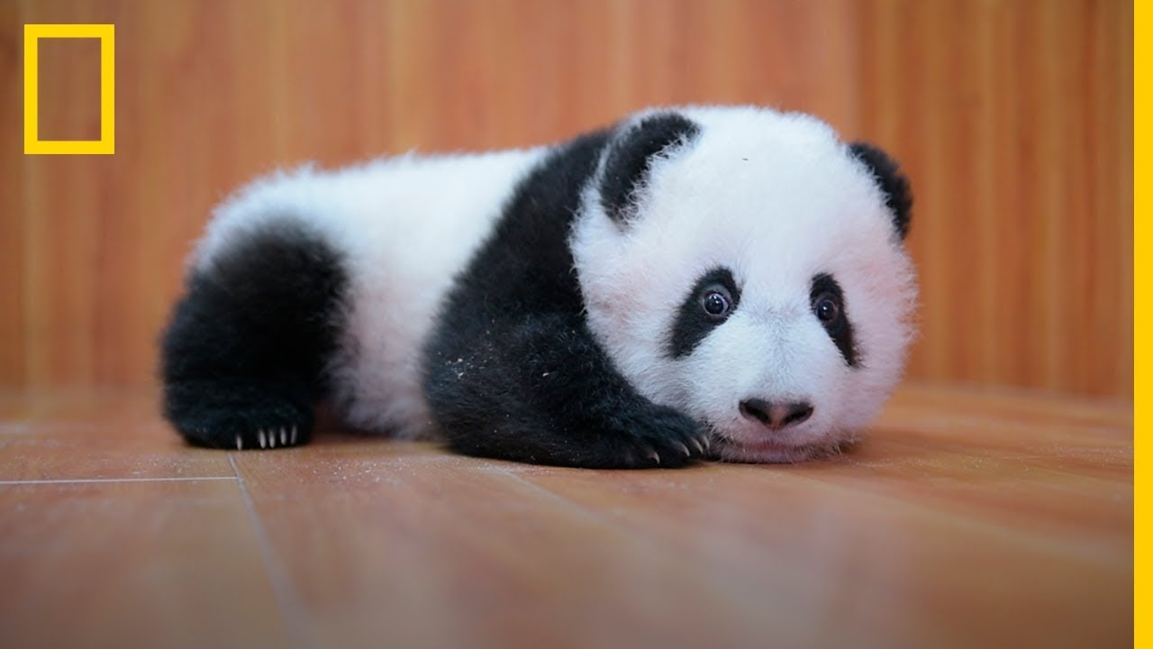 CUIDAR De ADORABLES BEBÉS Panda: Es Complicado