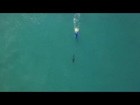 Great white shark spotted at surfing event in Jeffrey's Bay