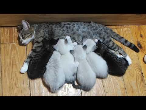 Kittens Feeding On Mama Tabatha Cat #IAmACreator #IRL