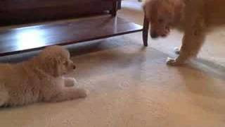 7 Week Old Golden Retriever Puppy Ti Being Naughty