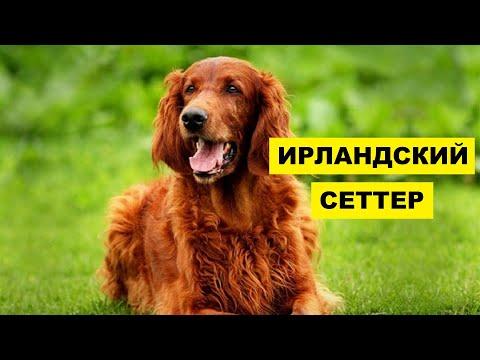 Собака Ирландский сеттер плюсы и минусы породы | Собаководство | Порода Ирландский сеттер