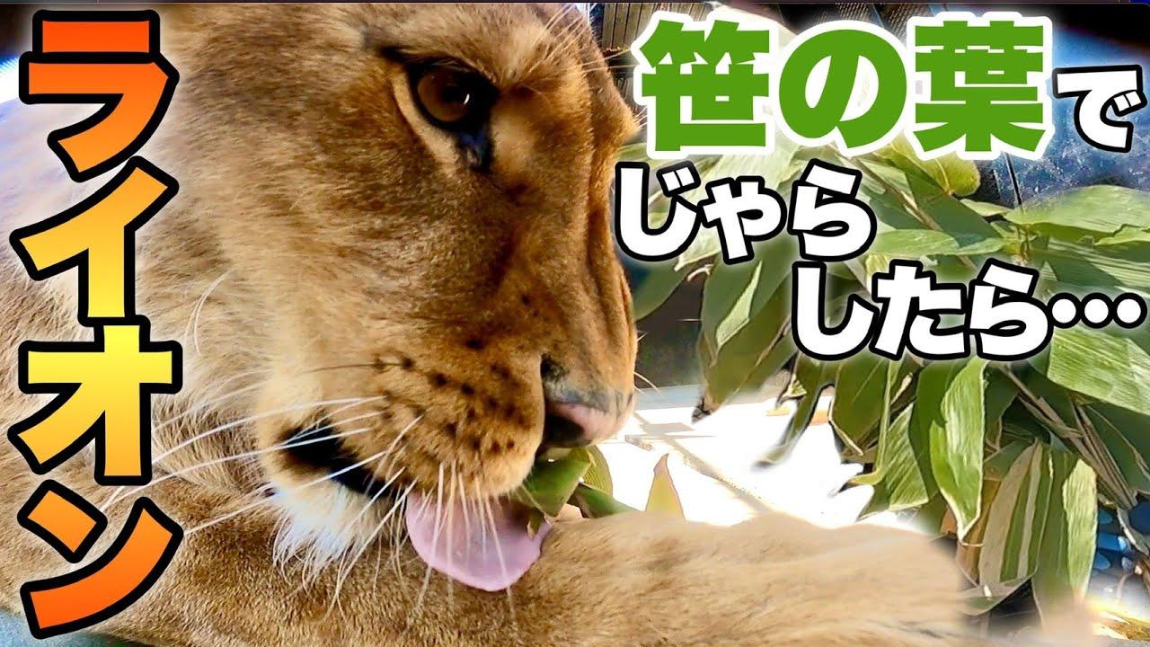 【百獣の王】ライオンに猫じゃらししたら猫化するのか・・・ww!?