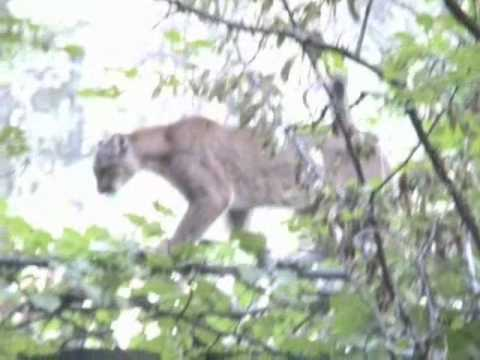 Yosemite Mountain Lion vs. Coyote
