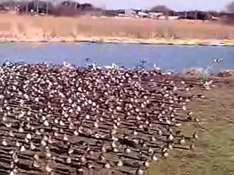 10-12-17-1 群馬県多々良沼のハクチョウ白鳥スワンSWANS MOL003.3GP