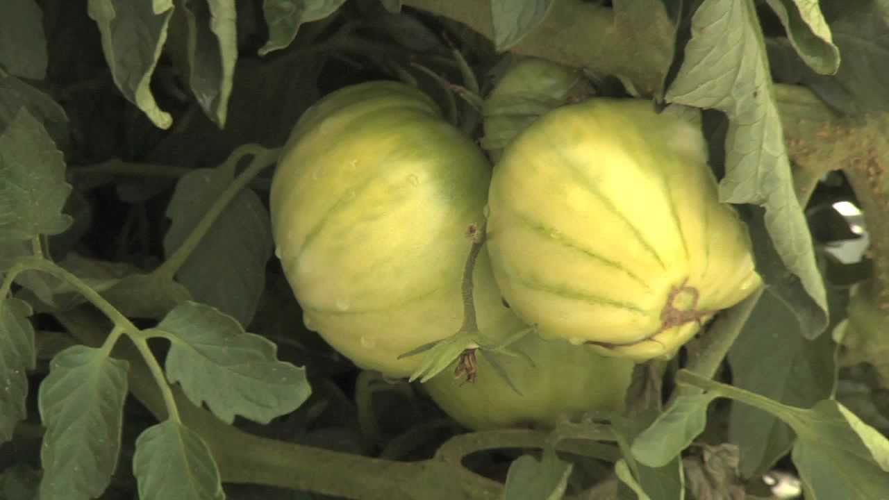 shade grown vegetables showing promise for uga researchers youtube