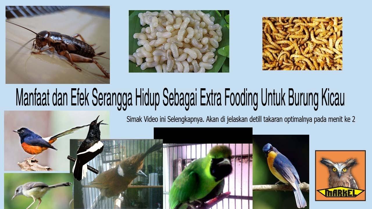 Manfaat Tepung Jangkrik Untuk Burung Pleci Kacer Dan Sulingan