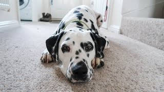 Life with a Dalmatian