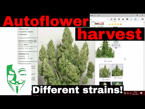 Autoflower HARVEST different strains HOW MUCH can you harvest from a Autoflower?