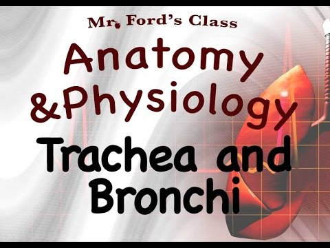 Respiratory System : Trachea and Bronchi Of The Respiratory System (16:04)